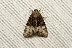 Neoligia tonsa - Hodges # 9413