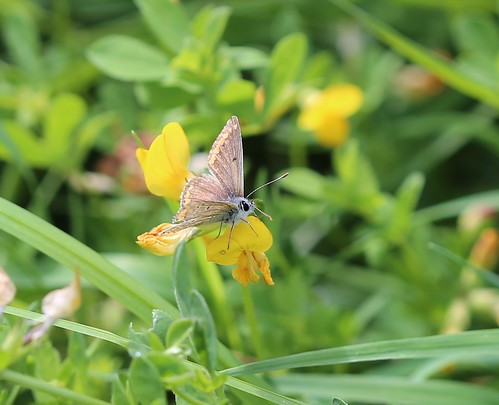Brown Argus on Birds Foot Trefoil - near Pulborough