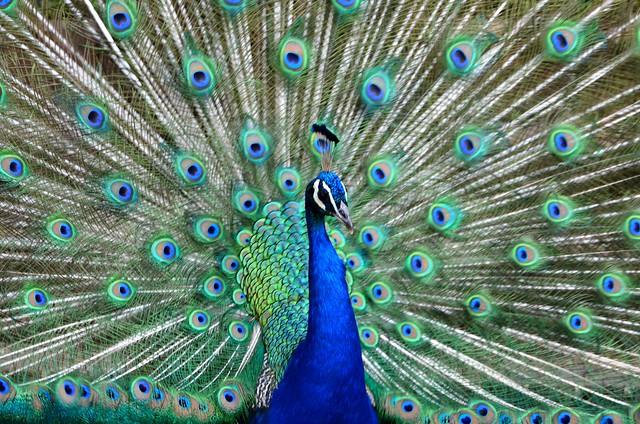 peacock, Nikon D5100, Sigma 18-250mm F3.5-6.3 DC OS HSM