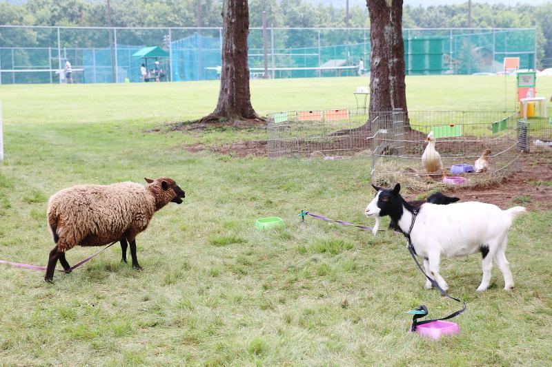 eagle-rock-animals-goat-sheep