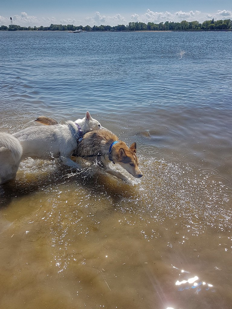 Loki Thorn Lake Winnipeg Swimming Husky