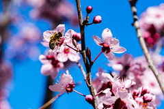 Blossoms and a bee on Lake Ginninderra
