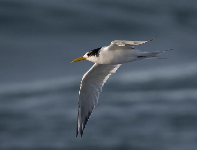 crested tern flight narrabeen, Nikon D500, AF-S Nikkor 300mm f/4E PF ED VR