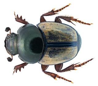 Onthophagus pallidipennis Fahraeus, 1857