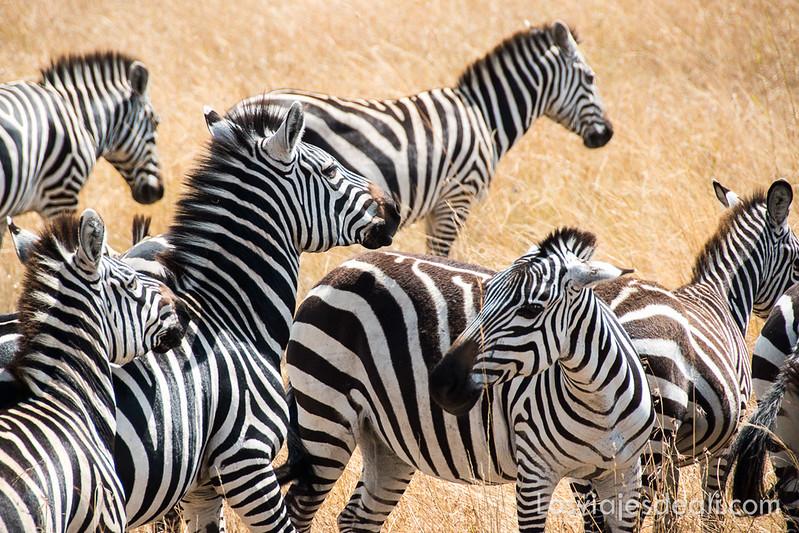 Masai Mara cebras