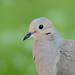 Nourning Dove-43107.jpg