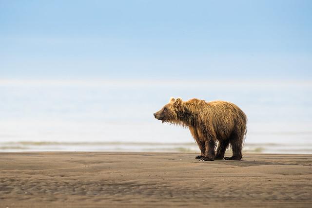 Bear Pudding  312121