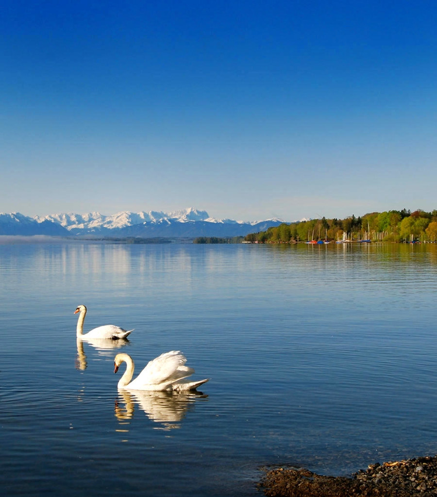 Swan on Lake Starnberg. Credit Boschfoto