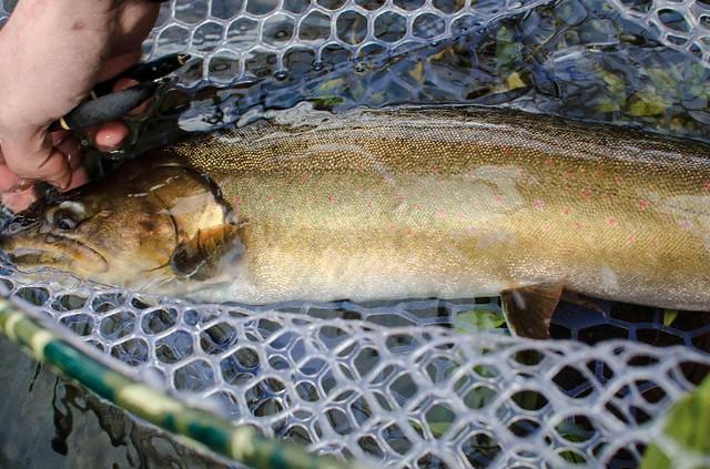 metolius-river-bull-trout