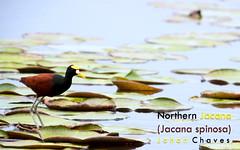 Northern Jacana