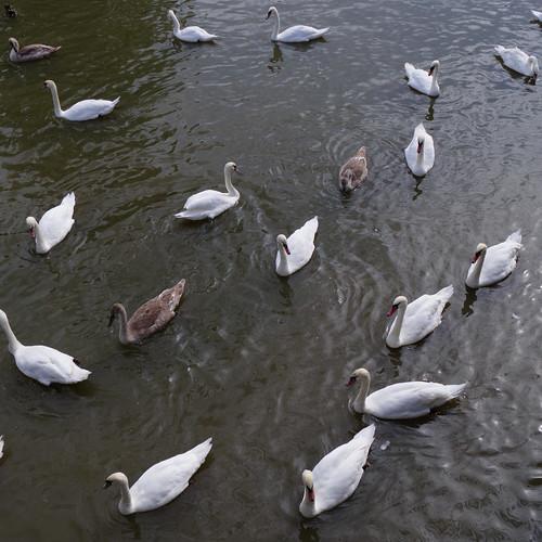 Swans circling on river, Stratford on Avon