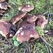 United Downs fungi.