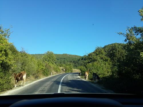 Útban a tehenek között.