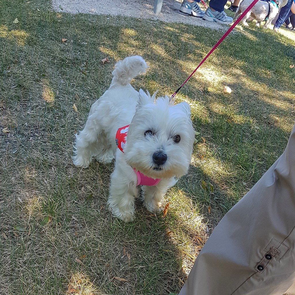 winnipeg westie walk-01