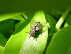 Tachinidae. Phryxe sp. (Phryxe nemea, possibly)