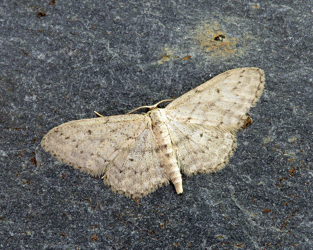 70.008 Small Dusty Wave - Idaea seriata