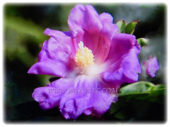 Beautiful purplish-pink bloom of Pereskia sacharosa (Needle Seven Blade, Seven Star Needle, Rose Cactus, Tree Cancer, Jarum Tujuh Bilah in Malay), 12 Sept 2017
