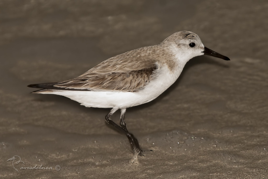Playerito Blanco - Sanderling - Calidris alba (Pallas, 1764)