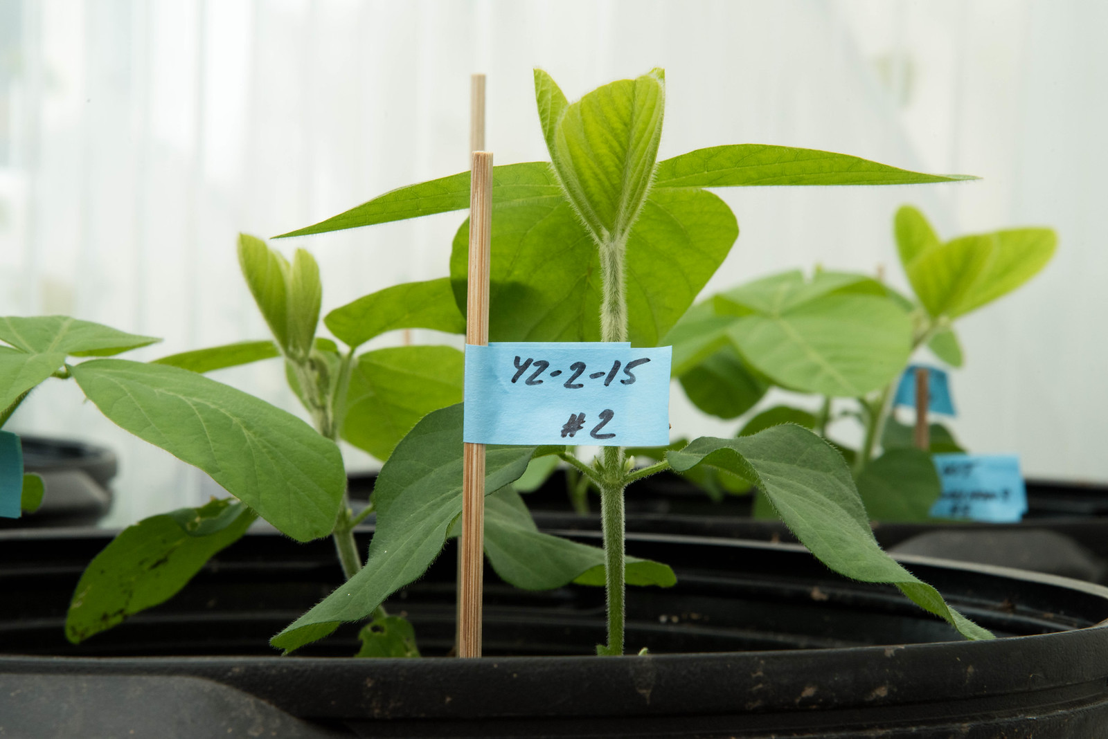 Thelen's soybean plants