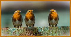 Robins and Rust-