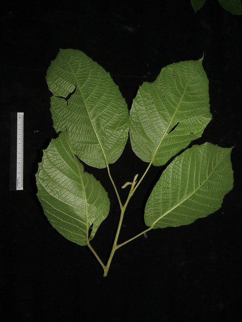 Baccaurea polyneura