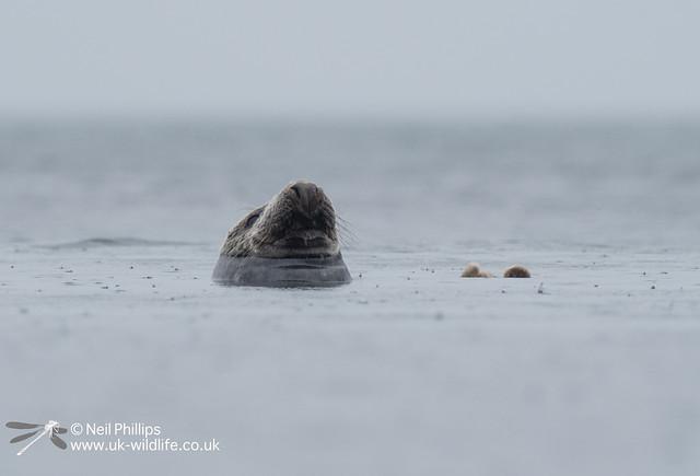Seal-8
