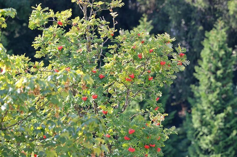 Rowan Tree 03.09 (3)