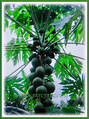 Tree of Carica papaya (Papaya, Papaw, Pawpaw, Melon Tree, Betik in Malay) can grow between 5-10 m tall