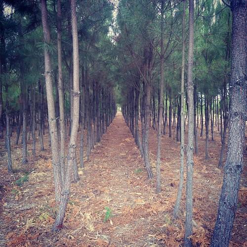 #caminhada #pinheiros #mata   Tudo em fila pirilau, faxa vor...