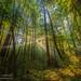 Morning light, Butano State Park