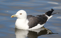 Lesser Black-backed Gull