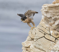 _J3A2919 7D Mark ll Tamron 150-600mm G2 Peregrine Falcon Adult