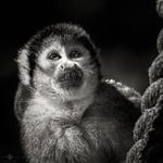 Squirrel Monkey :monkey: