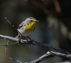 Grace's Warbler (Setophaga graciae)_DSC4515-edit