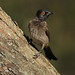 Small photo of African Red-eyed Bulbul or Black-fronted Bulbul