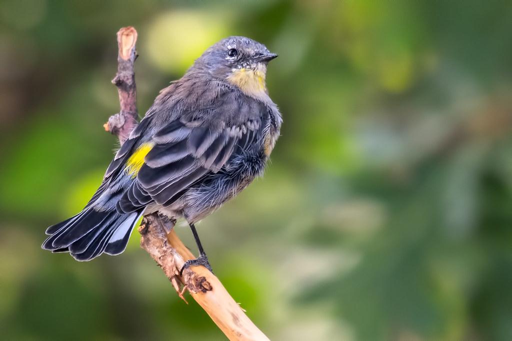 Yellow-rump-Warbler-14-7D2-090217