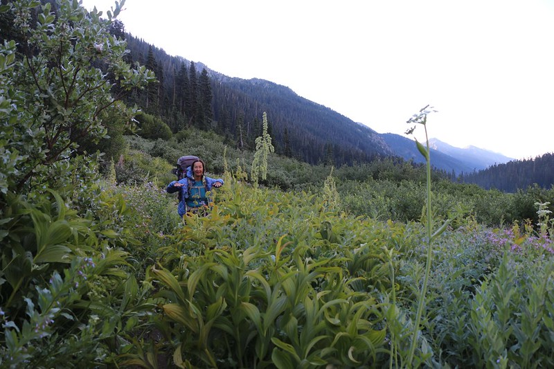 The Phelps Creek Trail travels through some chest-high dew-soaked plants in Spider Meadow