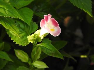 トレニア ピンク02
