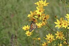 Monarch Butterfly, Virginia