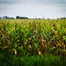 Kentucky Corn Field