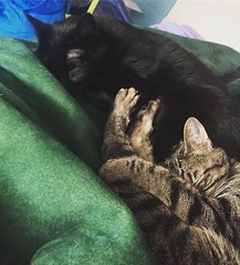 Morning snuggles. Cleo, as always, hiding from the sun, and keeping just close enough to momma. . . . . . #meow #catsofinstagram #caturday #purr #morning #cleocatra #tabby #blackcats