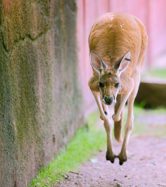 Kangaroo_9