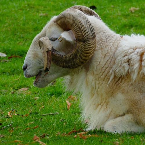 Ram, Mary Arden's Farm, Wilmcote