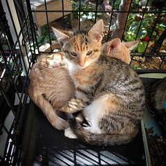 Peasncarrots loves her brother Outtake. At least as a pillow. Meet them both today until 5! 447 Graham Ave in Williamsburg. #adoptthiskitten #adoptionevent
