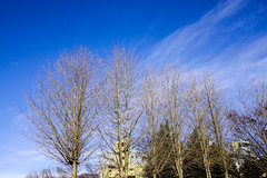 Dried trees under blue sky at forest