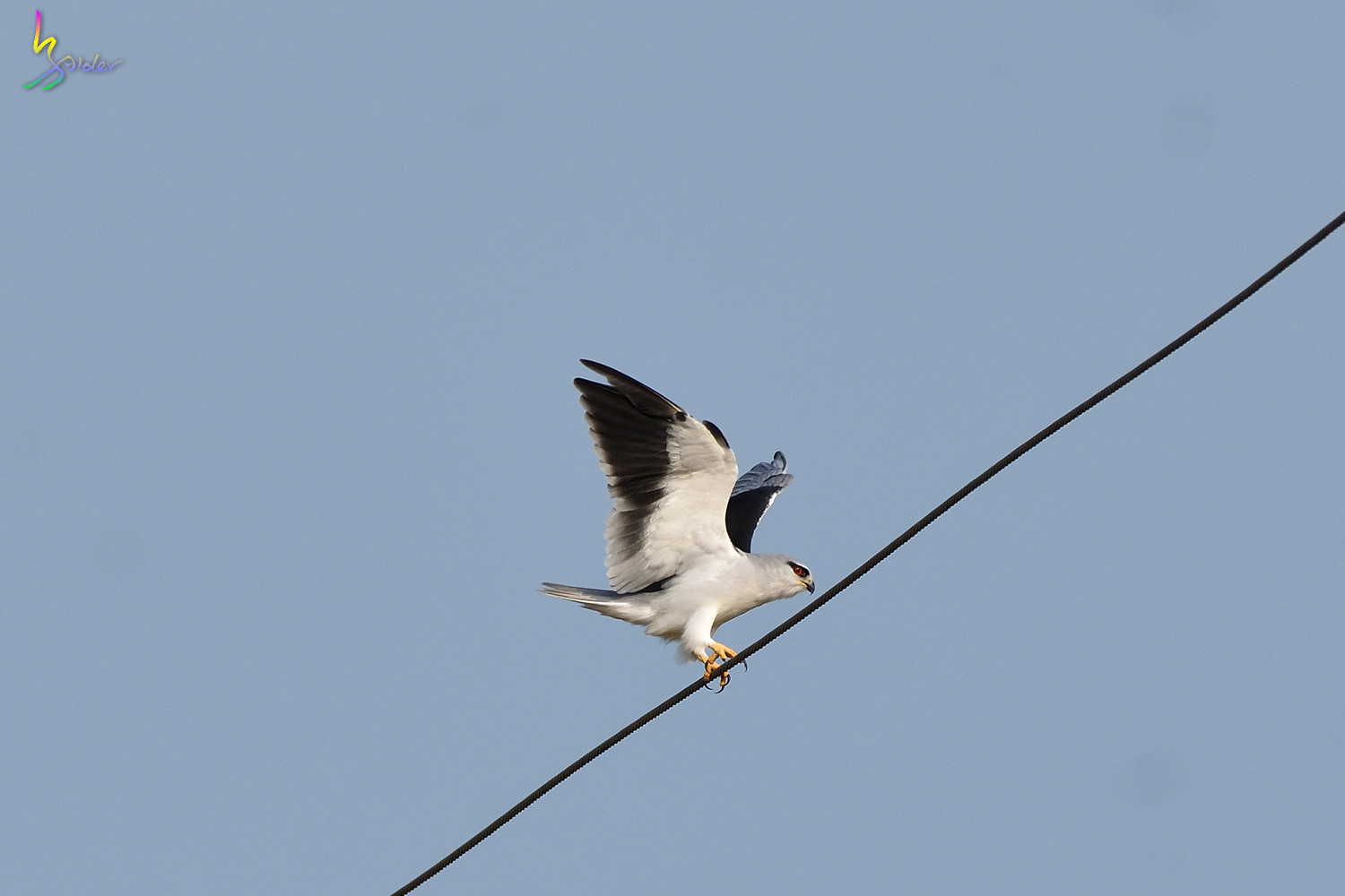 Black-winged_Kite_6129