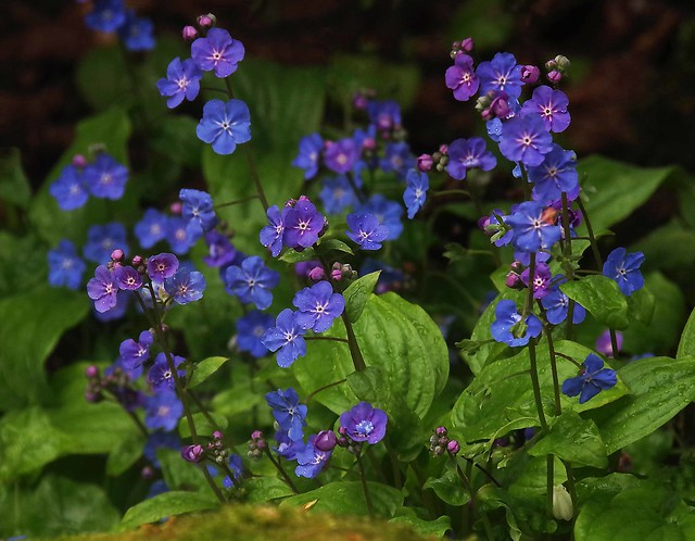 Botanic Gardens in the rain - forget-me-not