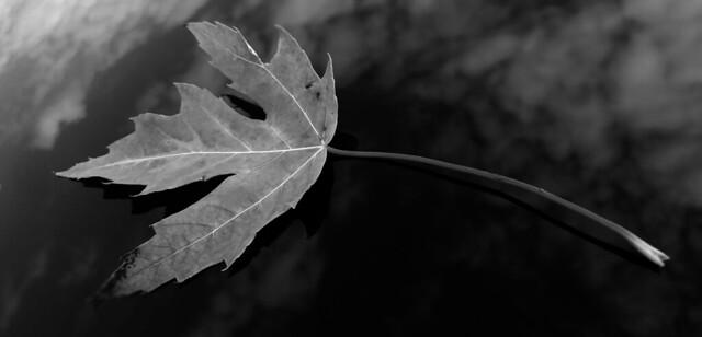b+w leaf