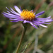 Small photo of Aster alpinus (Alpine Aster)