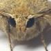Hellbraune Staubeule / Hoplodrina ambigua  , NGIDn527566594